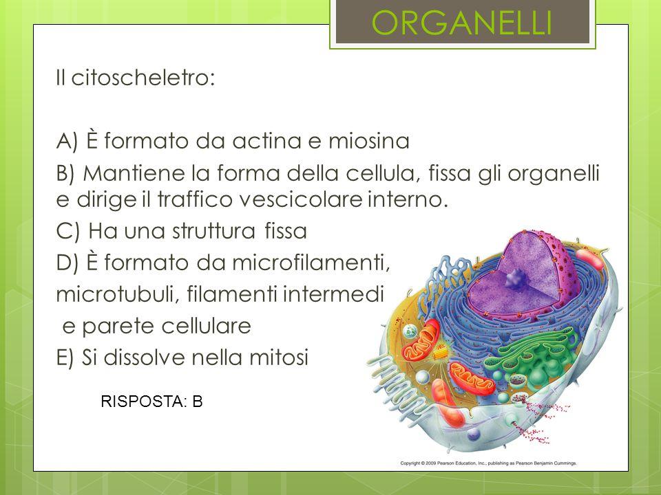 ORGANELLI Il citoscheletro: A) È formato da actina e miosina B) Mantiene la forma della cellula, fissa gli organelli e dirige il traffico vescicolare