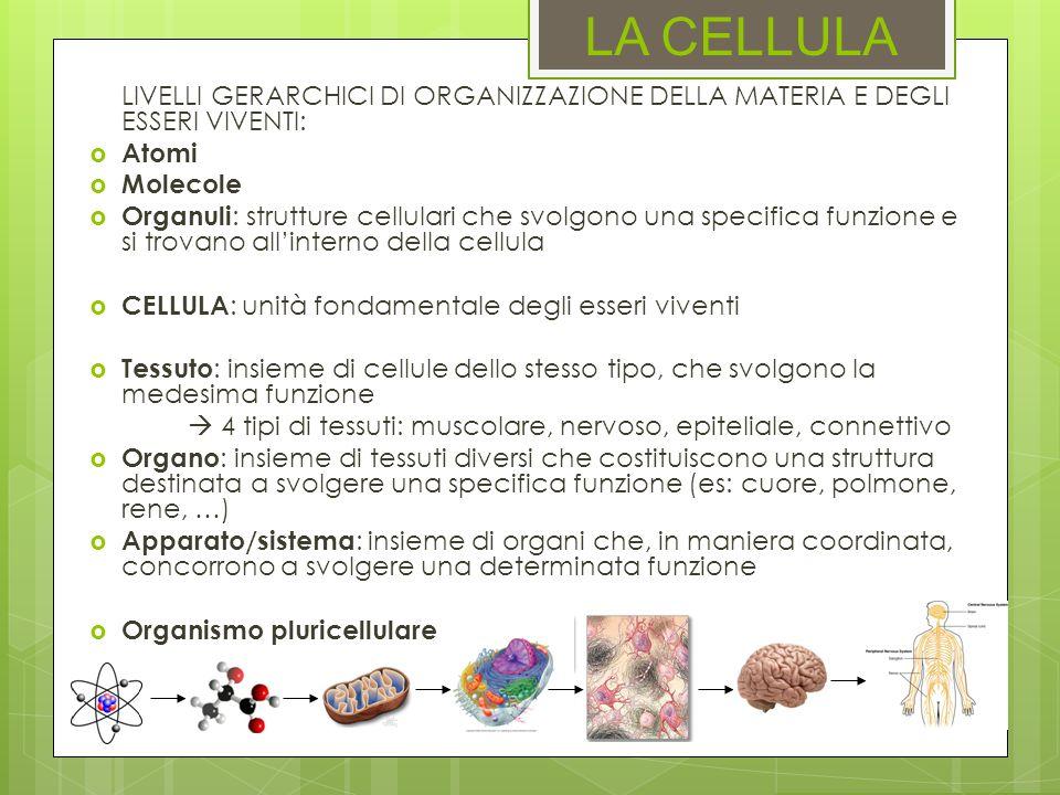 ORGANELLI Il citoscheletro: A) È formato da actina e miosina B) Mantiene la forma della cellula, fissa gli organelli e dirige il traffico vescicolare interno.