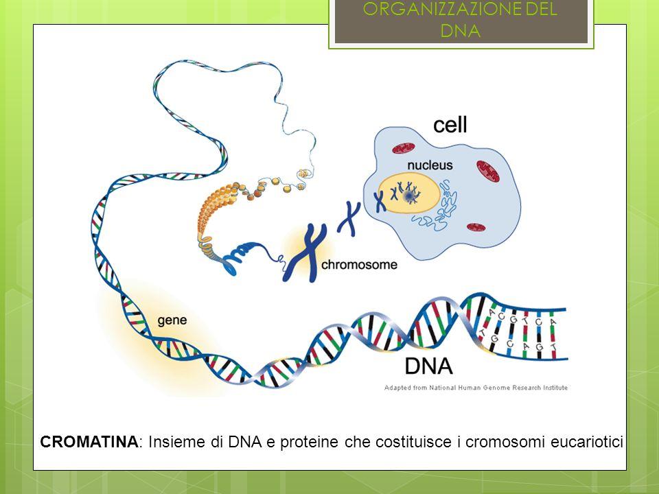 ORGANIZZAZIONE DEL DNA CROMATINA: Insieme di DNA e proteine che costituisce i cromosomi eucariotici