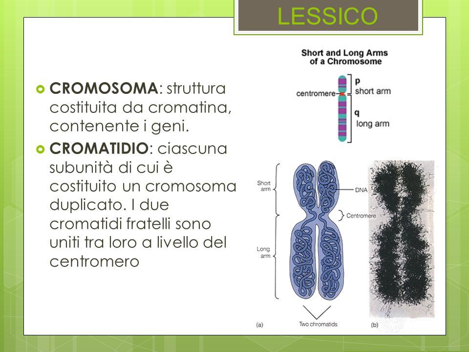 CROMOSOMA : struttura costituita da cromatina, contenente i geni. CROMATIDIO : ciascuna subunità di cui è costituito un cromosoma duplicato. I due cro