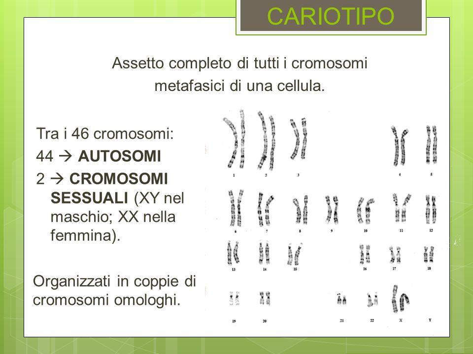 CARIOTIPO Tra i 46 cromosomi: 44 AUTOSOMI 2 CROMOSOMI SESSUALI (XY nel maschio; XX nella femmina). Organizzati in coppie di cromosomi omologhi. Assett