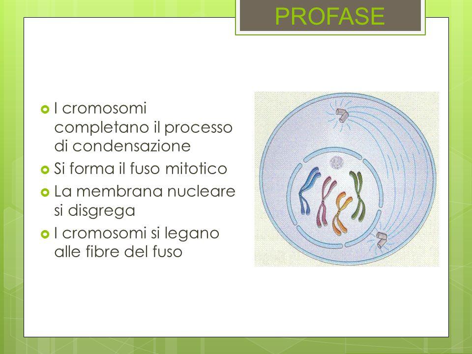 PROFASE I cromosomi completano il processo di condensazione Si forma il fuso mitotico La membrana nucleare si disgrega I cromosomi si legano alle fibr