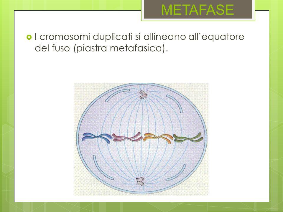 METAFASE I cromosomi duplicati si allineano allequatore del fuso (piastra metafasica).