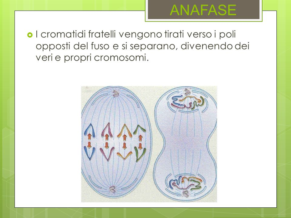 ANAFASE I cromatidi fratelli vengono tirati verso i poli opposti del fuso e si separano, divenendo dei veri e propri cromosomi.