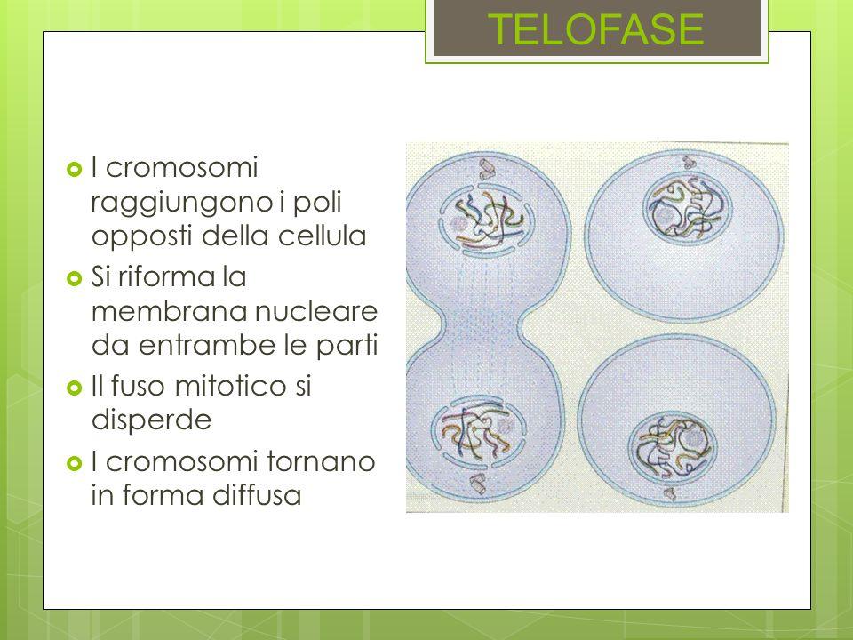 TELOFASE I cromosomi raggiungono i poli opposti della cellula Si riforma la membrana nucleare da entrambe le parti Il fuso mitotico si disperde I crom