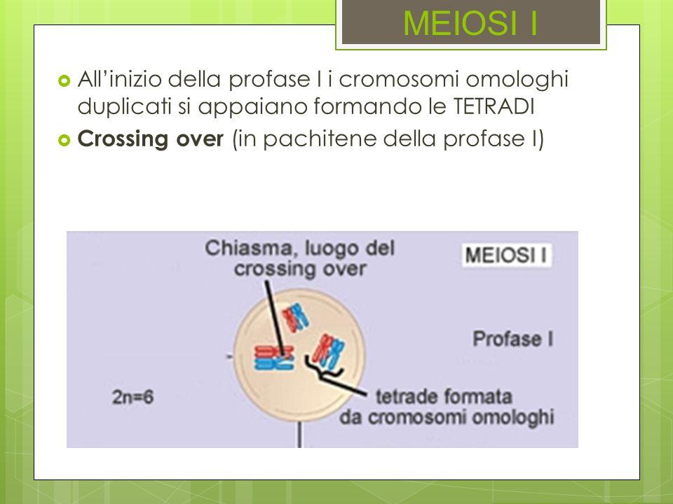 MEIOSI I Allinizio della profase I i cromosomi omologhi duplicati si appaiano formando le TETRADI Crossing over (in pachitene della profase I)