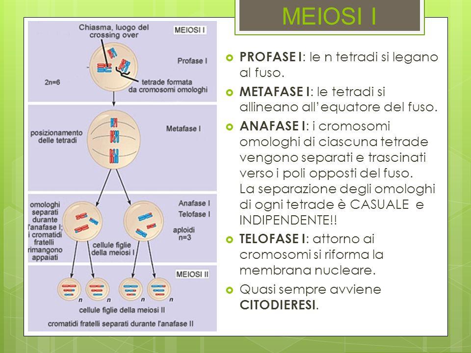 MEIOSI I PROFASE I : le n tetradi si legano al fuso. METAFASE I : le tetradi si allineano allequatore del fuso. ANAFASE I : i cromosomi omologhi di ci