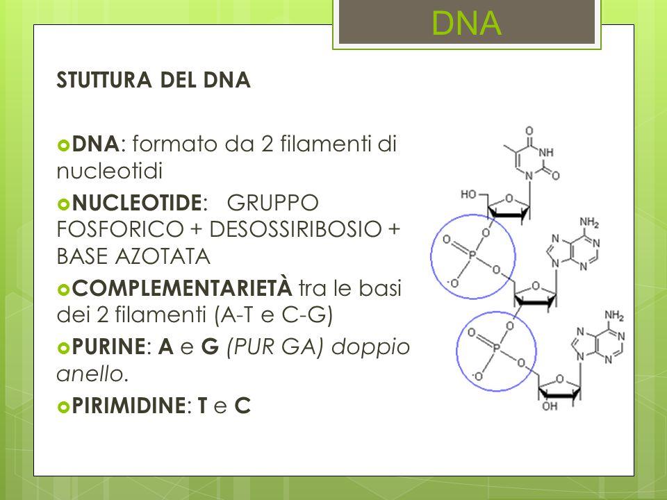 DNA STUTTURA DEL DNA DNA : formato da 2 filamenti di nucleotidi NUCLEOTIDE : GRUPPO FOSFORICO + DESOSSIRIBOSIO + BASE AZOTATA COMPLEMENTARIETÀ tra le