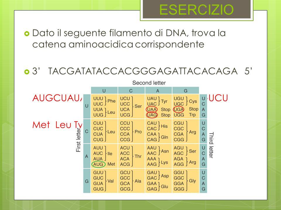 ESERCIZIO Dato il seguente filamento di DNA, trova la catena aminoacidica corrispondente 3 TACGATATACCACGGGAGATTACACAGA 5 AUGCUAUAUGGUGCCCUCUAAUGUGUCU