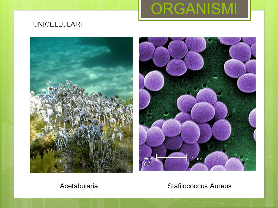Acetabularia ORGANISMI Stafilococcus Aureus UNICELLULARI