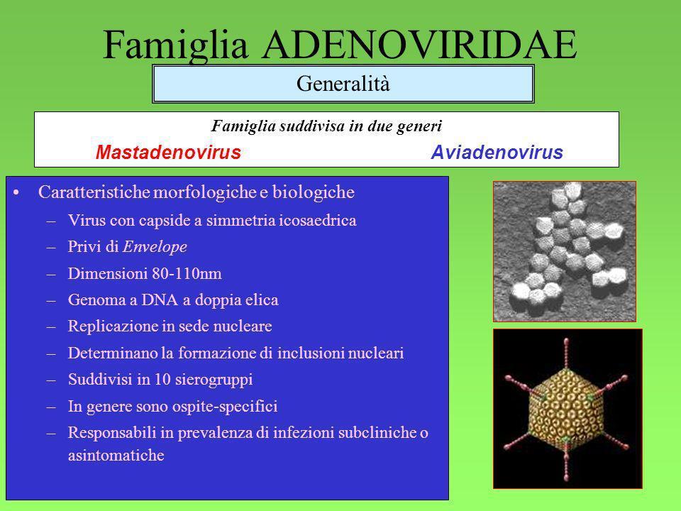 1 Famiglia ADENOVIRIDAE Caratteristiche morfologiche e biologiche –Virus con capside a simmetria icosaedrica –Privi di Envelope –Dimensioni 80-110nm –Genoma a DNA a doppia elica –Replicazione in sede nucleare –Determinano la formazione di inclusioni nucleari –Suddivisi in 10 sierogruppi –In genere sono ospite-specifici –Responsabili in prevalenza di infezioni subcliniche o asintomatiche Generalità Famiglia suddivisa in due generi MastadenovirusAviadenovirus