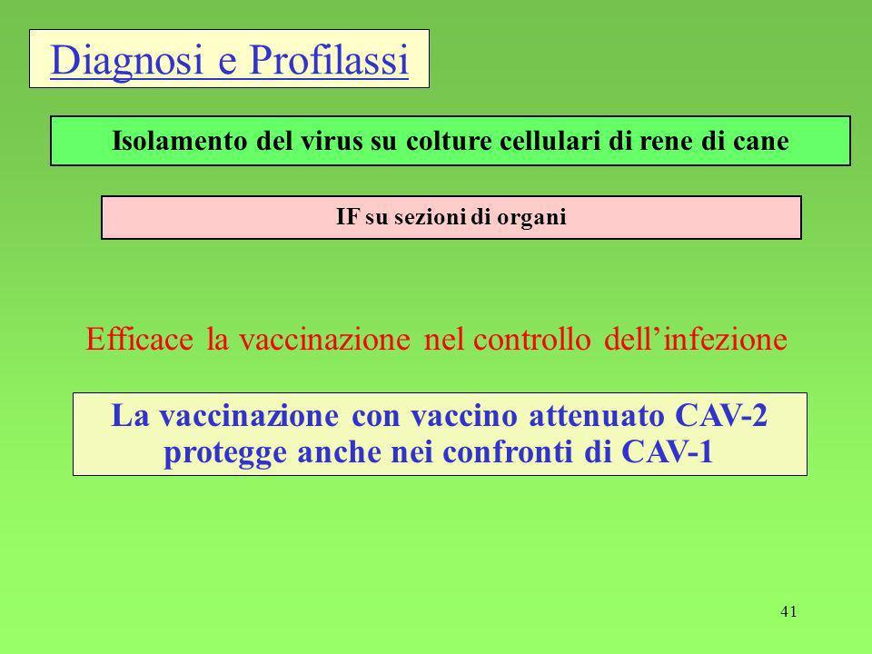 41 Diagnosi e Profilassi IF su sezioni di organi Isolamento del virus su colture cellulari di rene di cane Efficace la vaccinazione nel controllo dellinfezione La vaccinazione con vaccino attenuato CAV-2 protegge anche nei confronti di CAV-1