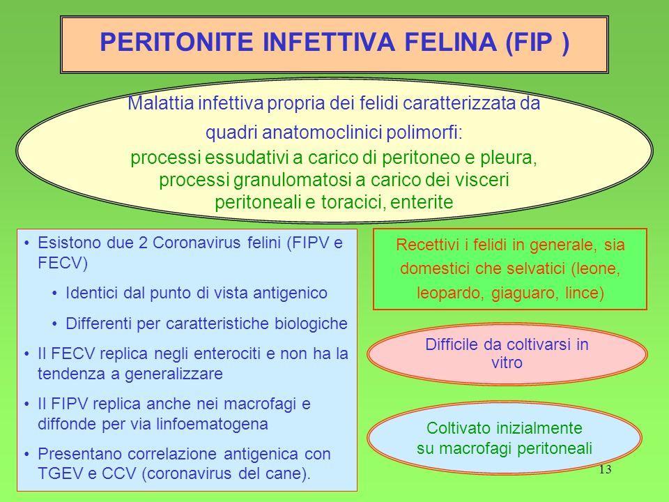 13 PERITONITE INFETTIVA FELINA (FIP ) Malattia infettiva propria dei felidi caratterizzata da quadri anatomoclinici polimorfi: processi essudativi a c