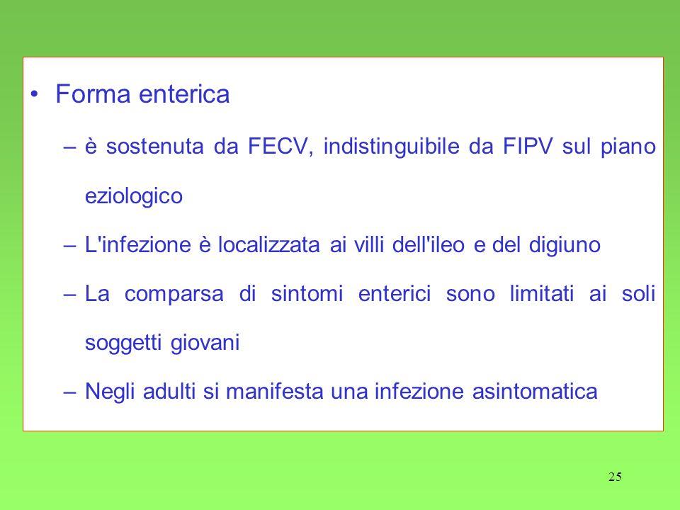 25 Forma enterica –è sostenuta da FECV, indistinguibile da FIPV sul piano eziologico –L'infezione è localizzata ai villi dell'ileo e del digiuno –La c