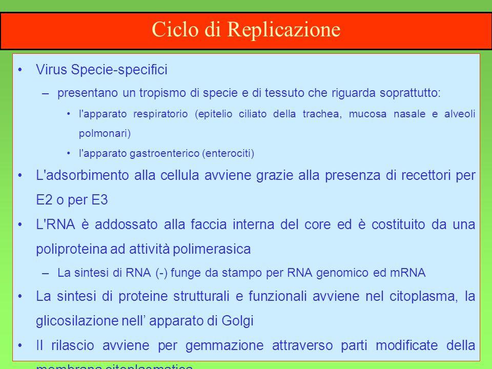 4 Ciclo di Replicazione Virus Specie-specifici –presentano un tropismo di specie e di tessuto che riguarda soprattutto: l'apparato respiratorio (epite
