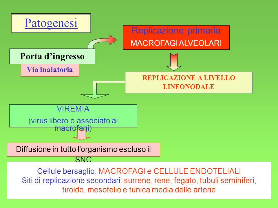 11 Via inalatoria VIREMIA (virus libero o associato ai macrofagi) Replicazione primaria MACROFAGI ALVEOLARI Porta dingresso REPLICAZIONE A LIVELLO LINFONODALE Patogenesi Cellule bersaglio: MACROFAGI e CELLULE ENDOTELIALI Siti di replicazione secondari: surrene, rene, fegato, tubuli seminiferi, tiroide, mesotelio e tunica media delle arterie Diffusione in tutto l organismo escluso il SNC