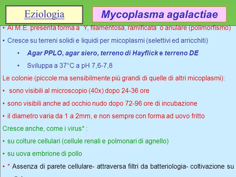 15 Al M.E. presenta forma a Y, filamentosa, ramificata o anulare (polimorfismo) Cresce su terreni solidi e liquidi per micoplasmi (selettivi ed arricc
