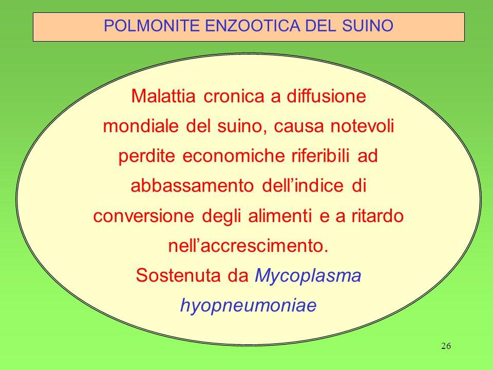 26 POLMONITE ENZOOTICA DEL SUINO Malattia cronica a diffusione mondiale del suino, causa notevoli perdite economiche riferibili ad abbassamento dellin