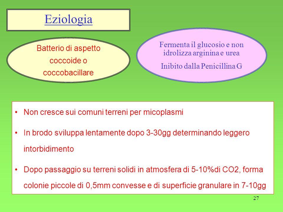 27 Batterio di aspetto coccoide o coccobacillare Fermenta il glucosio e non idrolizza arginina e urea Inibito dalla Penicillina G Eziologia Non cresce