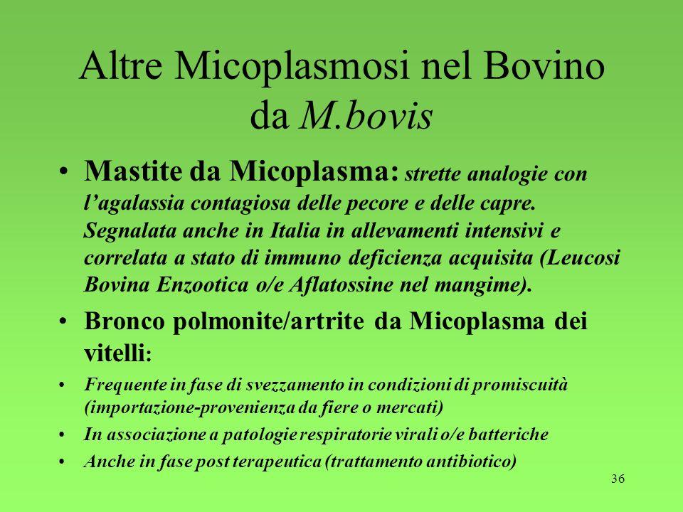 36 Altre Micoplasmosi nel Bovino da M.bovis Mastite da Micoplasma: strette analogie con lagalassia contagiosa delle pecore e delle capre. Segnalata an