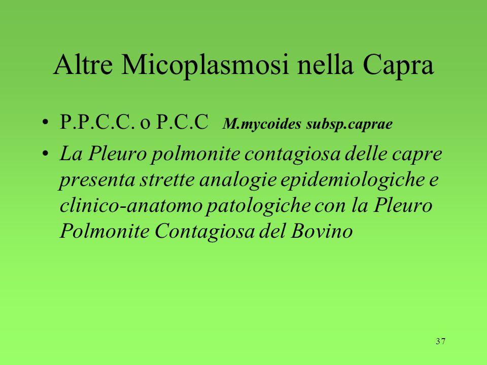 37 Altre Micoplasmosi nella Capra P.P.C.C. o P.C.C M.mycoides subsp.caprae La Pleuro polmonite contagiosa delle capre presenta strette analogie epidem