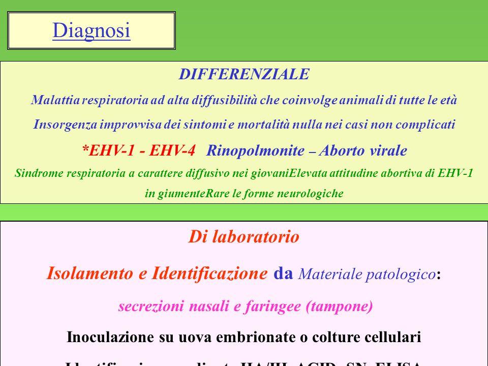 12 Di laboratorio Isolamento e Identificazione da Materiale patologico: secrezioni nasali e faringee (tampone) Inoculazione su uova embrionate o coltu