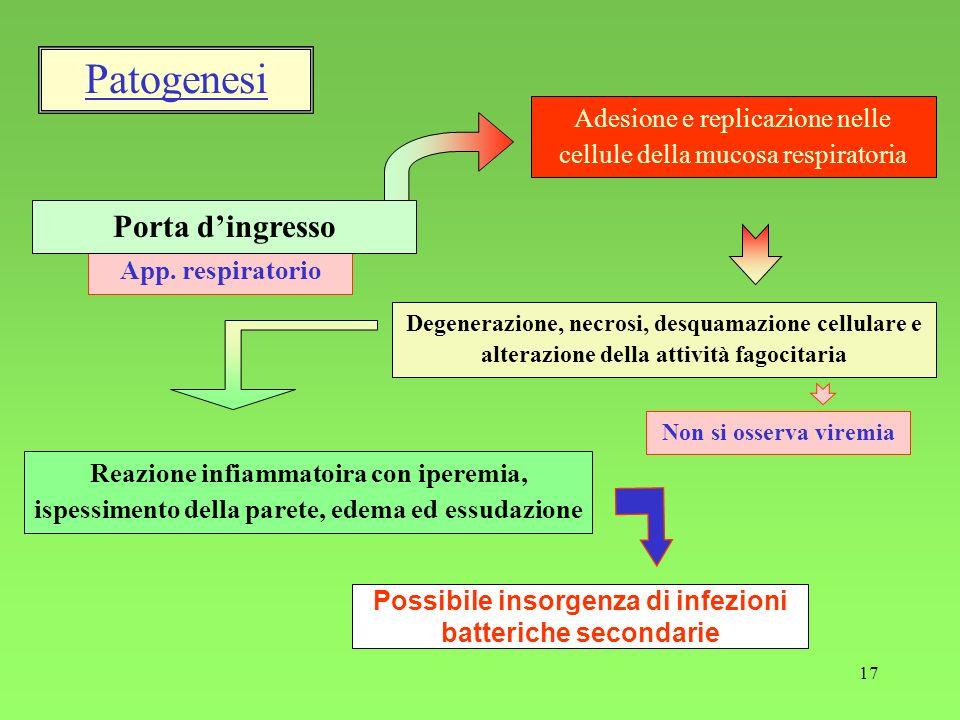 17 App. respiratorio Reazione infiammatoira con iperemia, ispessimento della parete, edema ed essudazione Adesione e replicazione nelle cellule della