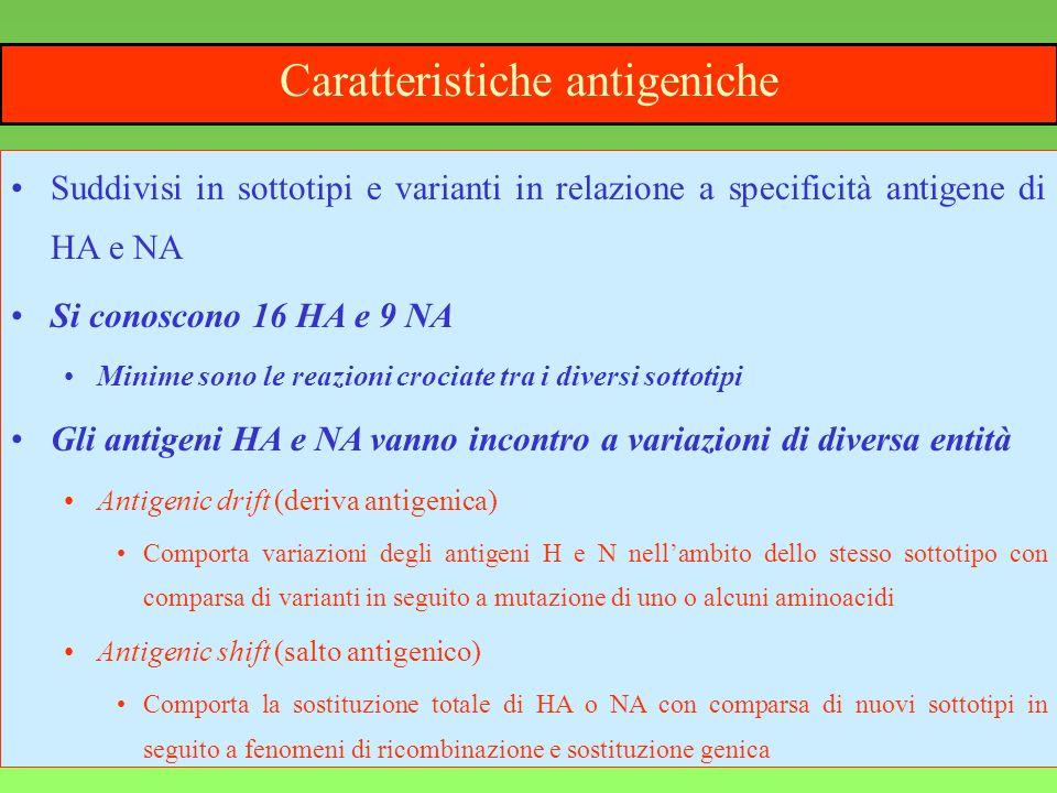 4 Caratteristiche antigeniche Suddivisi in sottotipi e varianti in relazione a specificità antigene di HA e NA Si conoscono 16 HA e 9 NA Minime sono l
