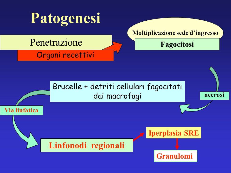 Via linfatica necrosi Penetrazione Organi recettivi Brucelle + detriti cellulari fagocitati dai macrofagi Linfonodi regionali Patogenesi Moltiplicazio