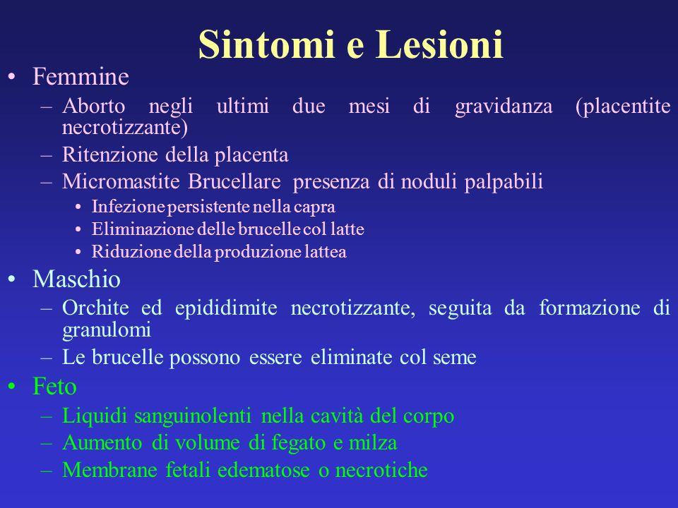 Sintomi e Lesioni Femmine –Aborto negli ultimi due mesi di gravidanza (placentite necrotizzante) –Ritenzione della placenta –Micromastite Brucellare p
