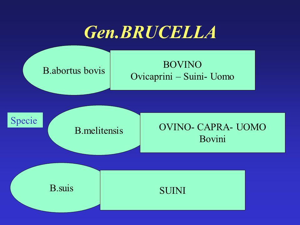 Gen.BRUCELLA Specie B.suis B.melitensis B.abortus bovis BOVINO Ovicaprini – Suini- Uomo OVINO- CAPRA- UOMO Bovini SUINI