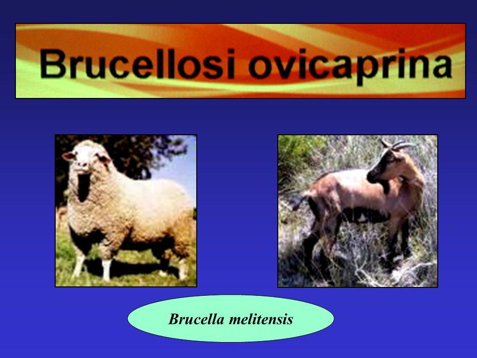 Brucella melitensis
