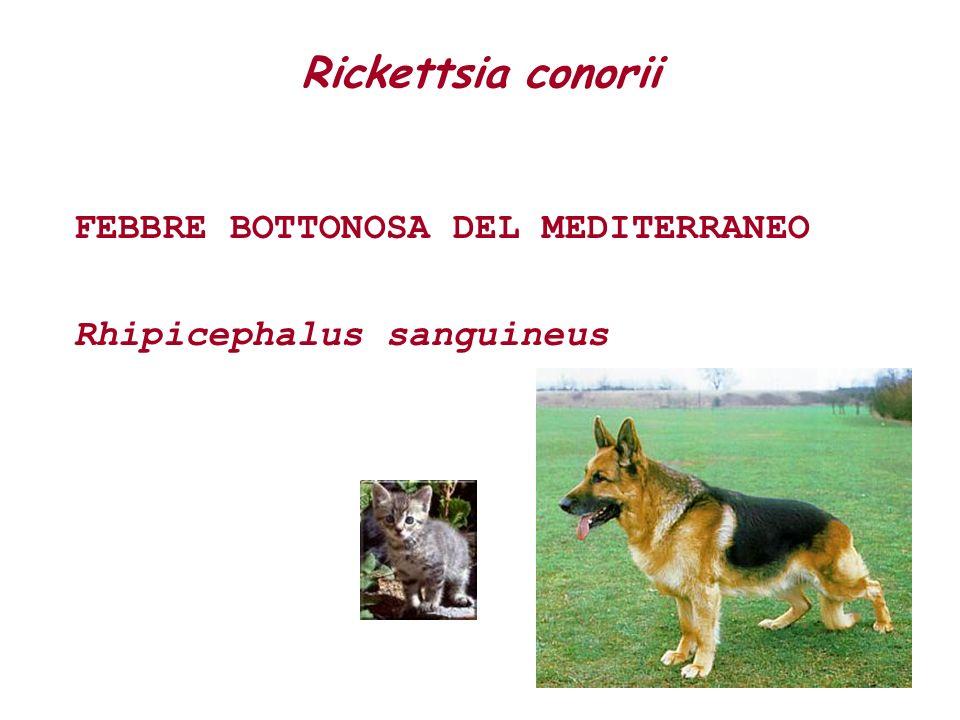 Rickettsia conorii FEBBRE BOTTONOSA DEL MEDITERRANEO Rhipicephalus sanguineus