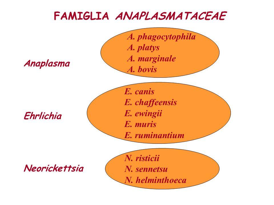FAMIGLIA ANAPLASMATACEAE Anaplasma Ehrlichia Neorickettsia A. phagocytophila A. platys A. marginale A. bovis E. canis E. chaffeensis E. ewingii E. mur
