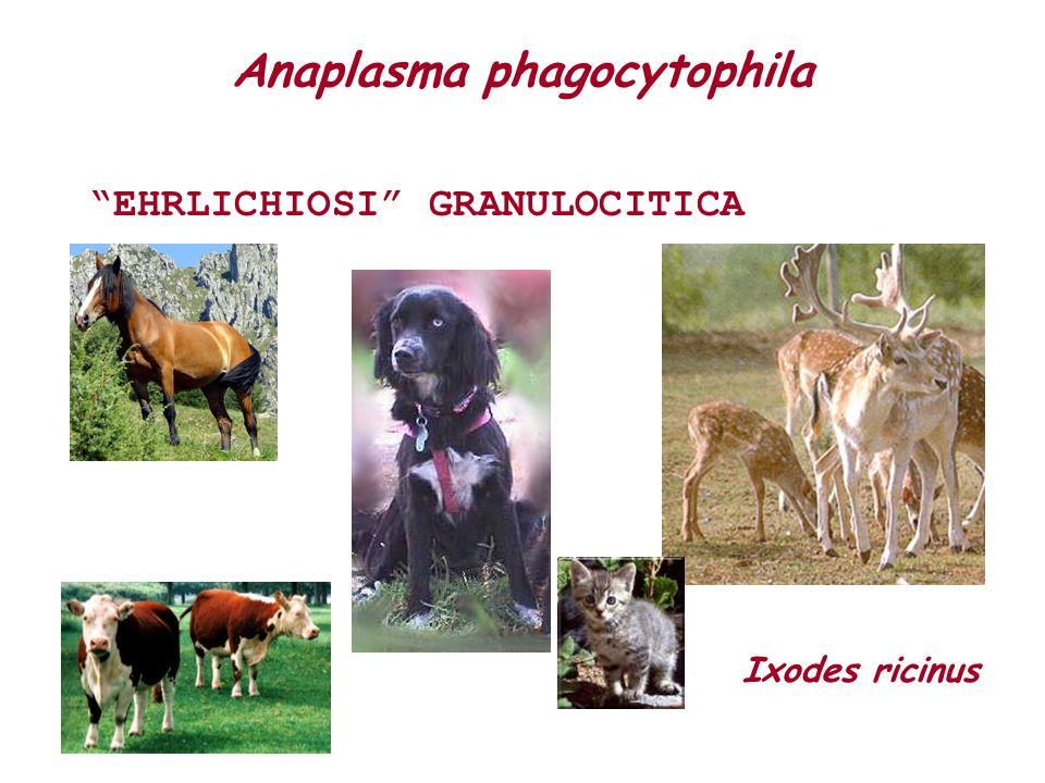 Anaplasma phagocytophila EHRLICHIOSI GRANULOCITICA Ixodes ricinus