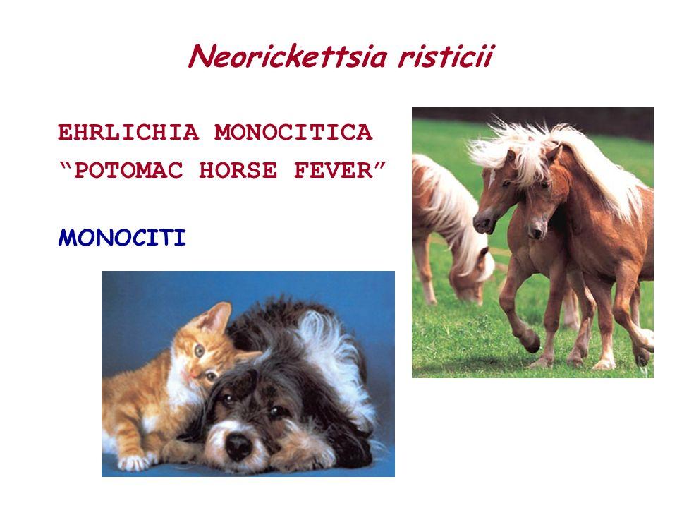 Neorickettsia risticii EHRLICHIA MONOCITICA POTOMAC HORSE FEVER MONOCITI