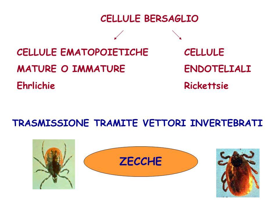 PROBLEMA CROSS-REAZIONI NON CONFONDERE LE CROSS-REAZIONI CON LE CO-INFEZIONI Frequenti le co-infezioni legate allo stesso vettore E.