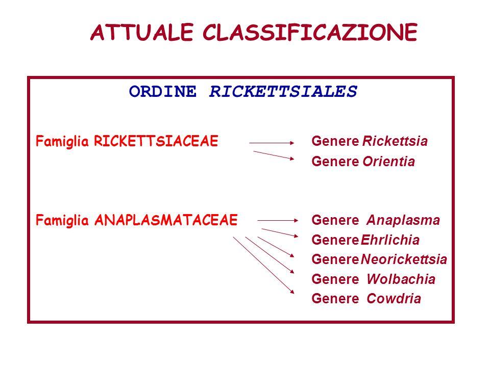 ATTUALE CLASSIFICAZIONE ORDINE RICKETTSIALES Famiglia RICKETTSIACEAE Genere Rickettsia Genere Orientia Famiglia ANAPLASMATACEAE Genere Anaplasma Gener