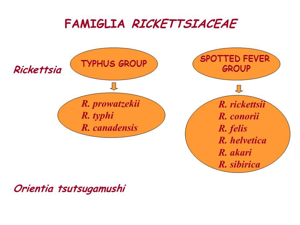 FAMIGLIA RICKETTSIACEAE Rickettsia Orientia tsutsugamushi TYPHUS GROUP R. prowatzekii R. typhi R. canadensis R. rickettsii R. conorii R. felis R. helv