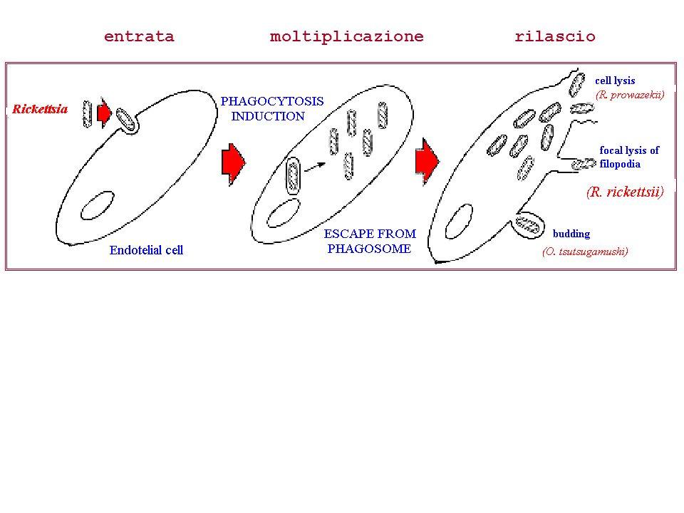 CONCLUSIONI Diversi agenti responsabili di ehrlichiosi e rickettsiosi nel CANE Sierologia mediante IFI Ausilio offerto da metodiche molecolari
