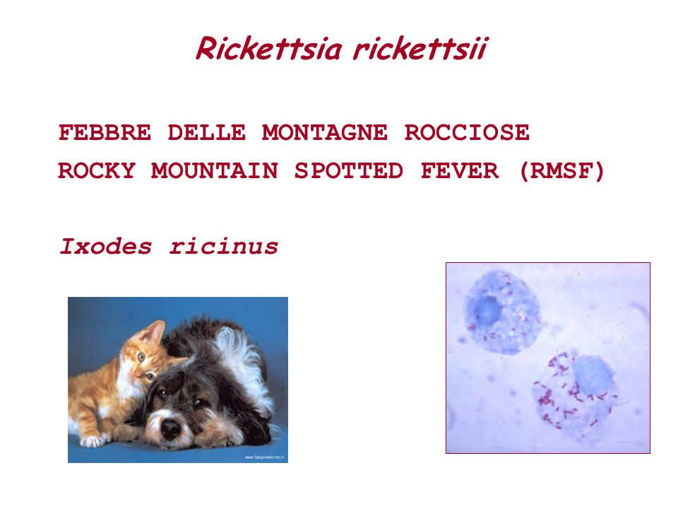 Rickettsia rickettsii FEBBRE DELLE MONTAGNE ROCCIOSE ROCKY MOUNTAIN SPOTTED FEVER (RMSF) Ixodes ricinus