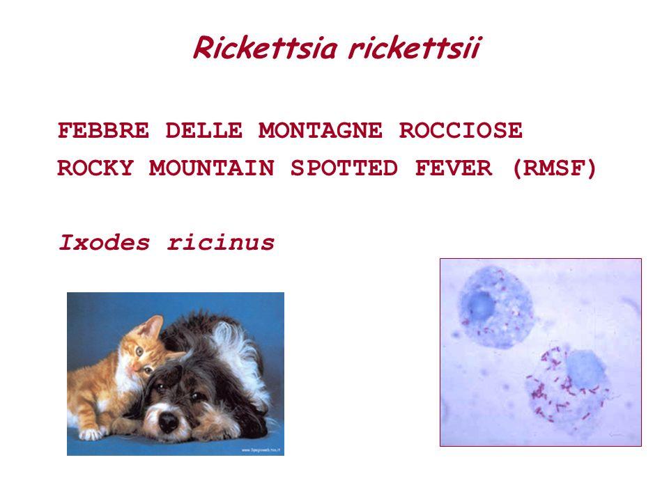 DIAGNOSI INDIRETTA Immunofluorescenza indiretta gold standard Soglia di positività 1:40 Ehrlichie 1:64 Rickettsie SIERO