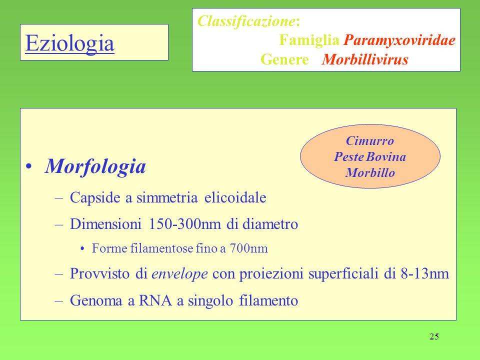 25 Eziologia Morfologia –Capside a simmetria elicoidale –Dimensioni 150-300nm di diametro Forme filamentose fino a 700nm –Provvisto di envelope con pr