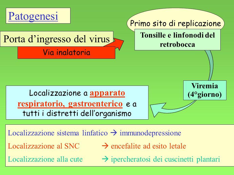 31 Viremia (4°giorno) Porta dingresso del virus Via inalatoria Localizzazione a apparato respiratorio, gastroenterico e a tutti i distretti dellorgani