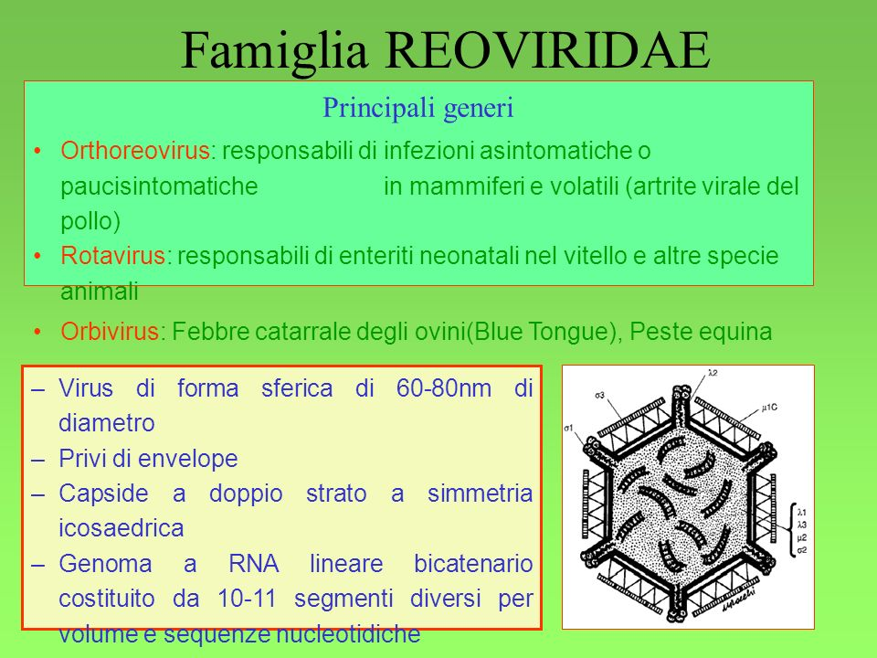 1 Famiglia REOVIRIDAE Generalità Principali generi Orthoreovirus: responsabili di infezioni asintomatiche o paucisintomatiche in mammiferi e volatili