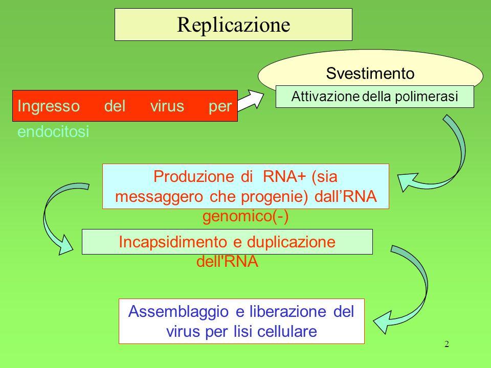 2 Replicazione Ingresso del virus per endocitosi Produzione di RNA+ (sia messaggero che progenie) dallRNA genomico(-) Incapsidimento e duplicazione de