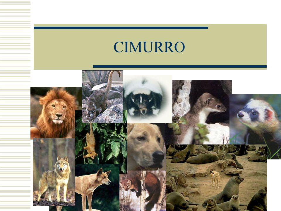 12 Spettro dospite (in vivo) Animali suscettibili allinfezione sono: Canidi (cane, dingo, volpe, coyote, lupo, sciacallo)