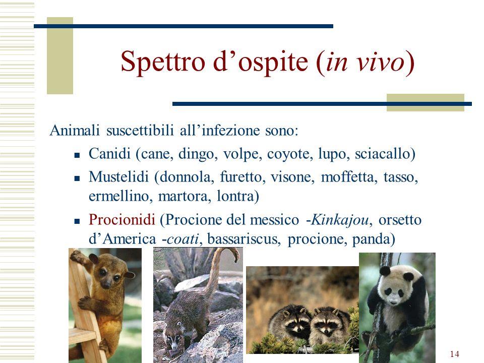 14 Spettro dospite (in vivo) Animali suscettibili allinfezione sono: Canidi (cane, dingo, volpe, coyote, lupo, sciacallo) Mustelidi (donnola, furetto,