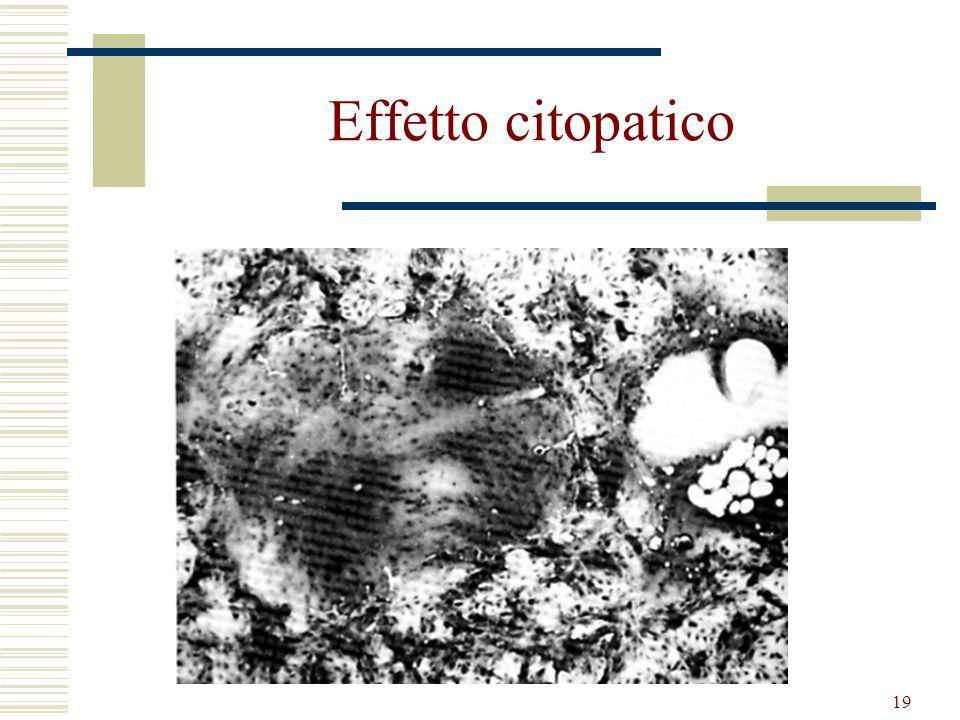 19 Effetto citopatico