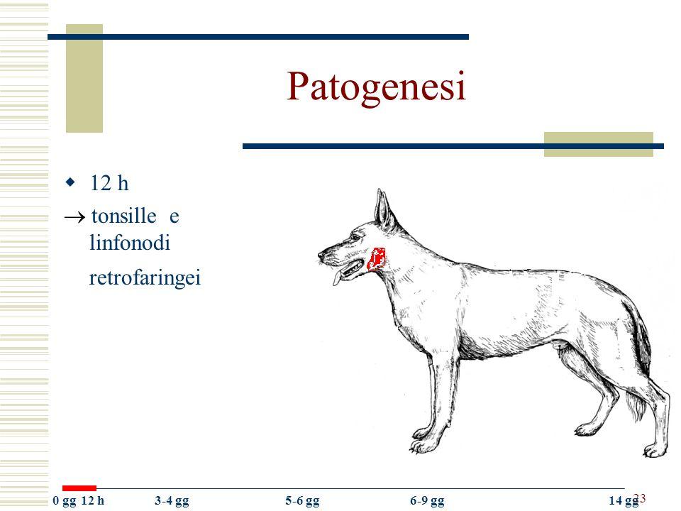 23 Patogenesi 12 h tonsille e linfonodi retrofaringei 0 gg12 h3-4 gg5-6 gg6-9 gg14 gg